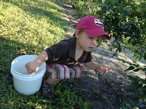 one seriously good blueberry picker.